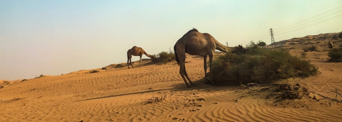 What to Do When Visiting Ras Al Khaimah | Desert & Camel Views | United Arab Emirates | www.agreatbighunkofworld.com | A Great Big Hunk of World | #AGBHOW