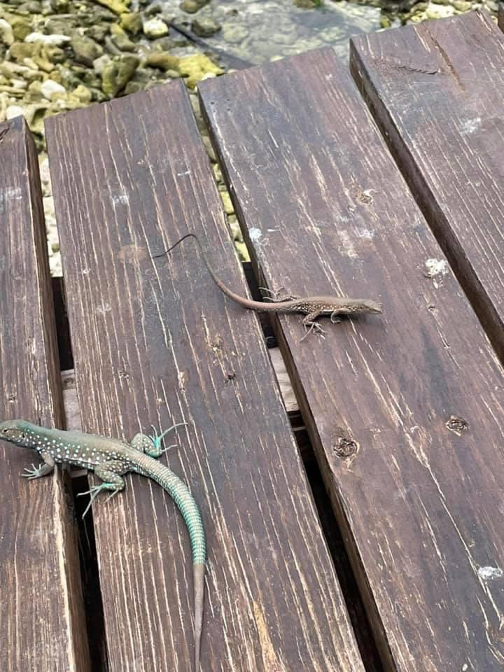 Wooden planks, on top are two small lizards, one is slightly larger a blue and one is smaller and grey