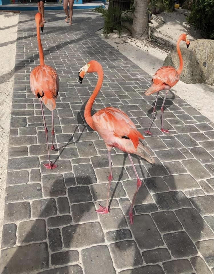 Three Flamingos walking along a stone path